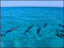 Spinner dolphins in the lagoon around Green Island at Kure Atoll, State Wildlife Refuge.
