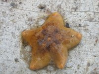 Mud star