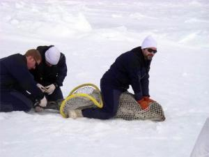 Shawn Dahle and Josh London prepare to attach the tag to the back flipper of the spotted seal.