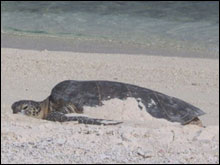 A large green sea turtle basking in the sand.