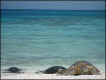 Three endangered Hawaiian green sea turtles bask on Southeast Island in the Hawaiian Islands National Wildlife Refuge.