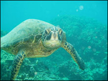 A curious Hawaiian green sea turtle approaches underwater at Puako in the main Hawaiian Islands.