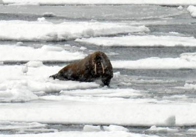 This healthy walrus is hanging out in its favorite place, the ice!