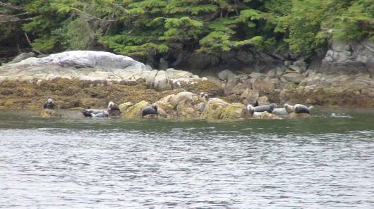 Seals lying on a rock out cropping.