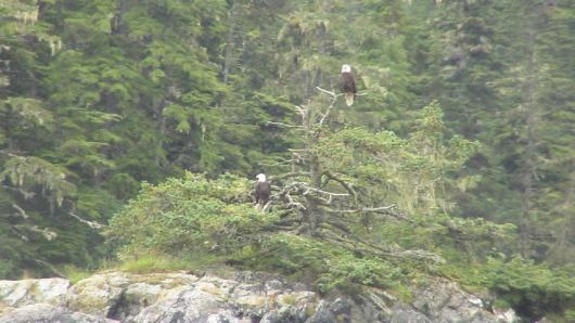 Two eagles perched on the branch of a tree on a tiny island in the Bay of Escobelie