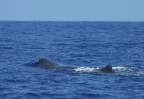 Notice the location of the blow hole on the sperm whale. Photo credit: Ali Bayless
