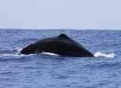 This sperm whale is about to dive deep to feed. Photo credit: Gadea Perez-Andujar