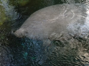 Manatee (Trichechus manatus) - The reason I became interested in Marine Science