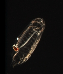 This a Salp, which is a jelly-like Zooplankton. These are found in our coastal waters starting in the spring time.