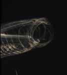 This is a close up of the mouth of a Salp. These plankton are filter feeders.