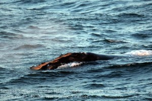 "The head shot of' ""Thorny"" the Right a whale taken by observer Todd Pusser on the Gordon Gunter AMAPPS Leg 2."