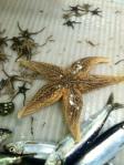 sea star (+ brittle stars)