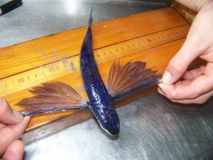 Atlantic flying fish