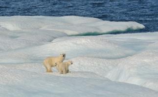 Casey Marwine polar bear