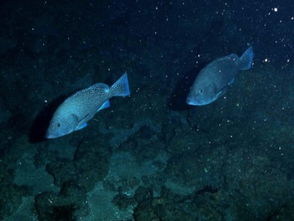 Speckled Hind.  Photo by NOAA / UNCW ROV. June 2014.