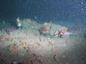 Lionfish - multiple sitings today.  Photo credit:  NOAA UNCW
