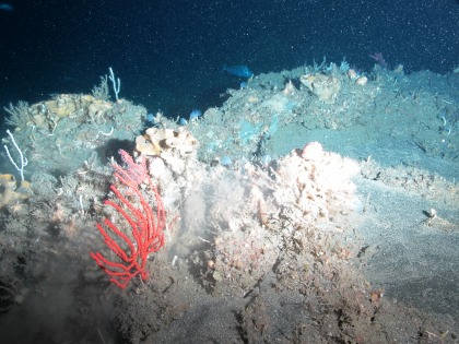 Leiodermatium, Nicella, feather duster crinoids, and a Red Porgy in the far background.  Photo credit: NOAA UNCW. Mohawk ROV June 2014.