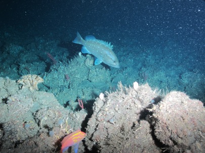 Snowy Grouper and a Roughtongue Bass photographed during one of our dives on Friday, June 20.   Photo credit: NOAA UNCW. Mohawk ROV June 2014.