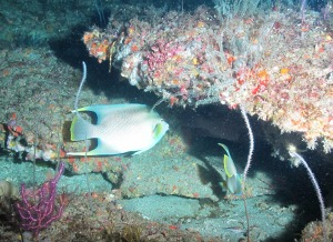 Photo from one of the 2014 South Atlantic MPA Survey ROV dives.  Photo credit: NOAA/UNCW. Mohawk ROV June 2014.