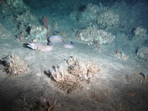 Eel photographed during one of our dives on Saturday, June 21.  Saw many of these peeking out of their homes in crevices.  We  were lucky to capture this one in its entirety. Photo credit: NOAA UNCW. Mohawk ROV June 2014.