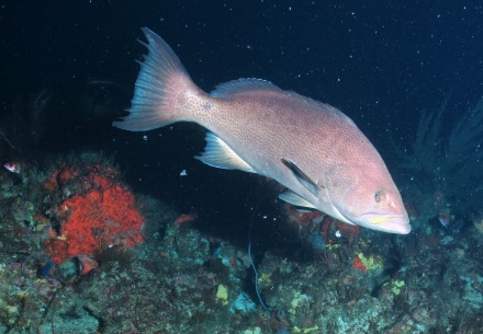 Scamp Grouper. Photo by NOAA / UNCW ROV June 2014.