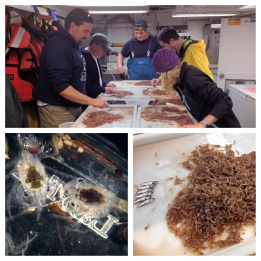 Sorting catch from various tows.