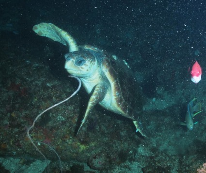 Loggerhead sea turtle. Photo credit to NOAA / UNCW ROV June 2014.