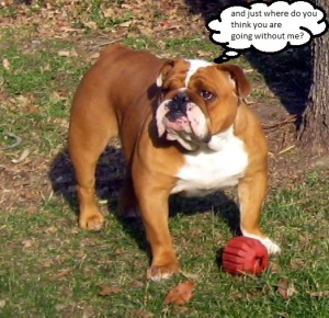 Lucille, the simply just too amazing bulldog.