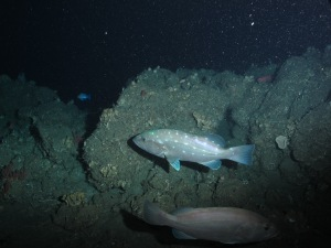 Pair of Snowy Groupers photographed during one of our dives on Friday, June 20.  Photo credit: NOAA UNCW. Mohawk ROV June 2014.
