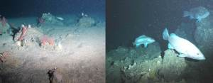 Rugosity Comparison. Low rogosity on the left; high rogosity on the right.  The low has a flat plain where as the high has rocks, deep crevasses, slopes, and texture.  Snowy Grouper desire high rogosity.  Photo credit: NOAA UNCW. Mohawk ROV June 2014.