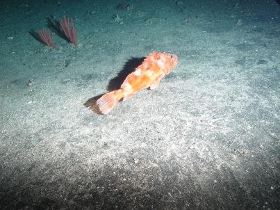 Scorpianfish (scorpaenidea) photographed during one of dives on Saturday, June 21.  Photo credit: NOAA UNCW. Mohawk ROV June 2014.