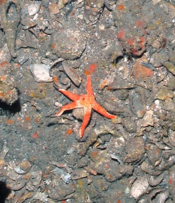 Seastar photographed during ROV dive.  Photo by NOAA / UNCW June 2014