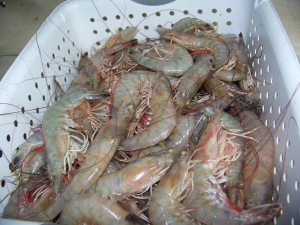 shrimp in Gulf of Mexico