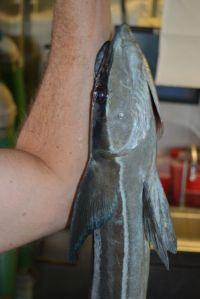 Closer view of sharksucker on my arm