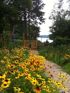 Black-eyed susans in my garden on the Wisconsin River