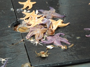 Starfish that fell from the net when being towed back on board.