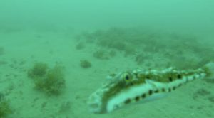 Hello pufferfish!  This is a view of what we can see with the video camera.