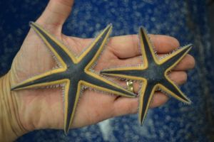 Sea stars with beautiful navy blue colors