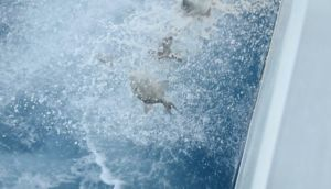 "Triggerfish returning to sea from the ship's  ""waterside""."