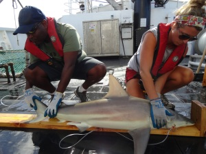 Scientist Andre Debose and volunteer Sarah Larsen work up a blacktip