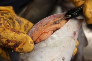 The pinkish colored sac is one of the female's ovaries. It contains thousands of eggs!