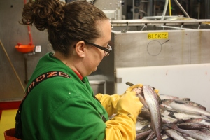 Kacey uses a scalpel to cut the fish. She slides the liver out and looks for the reproductive organs. Is it a male or female? (Photo Credit: Darin)