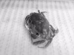 Atlantic Rock Crab (Cancer irroratus)