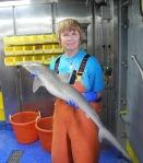 Atlantic Sharpnose Shark (Rhizoprionodon terraenovae)