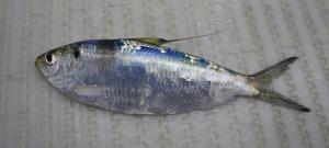 Atlantic Thread Herring (Opisthonema oglinum)