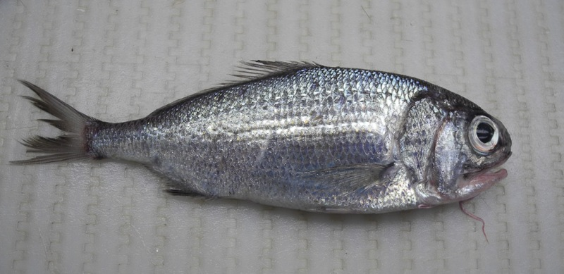 Beardfish (Polymixia lowei)