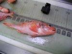 Black Belly Rose Fish (Helicolenus dactylopterus)
