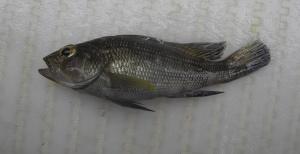Black Sea Bass (Centropristis striataa)