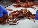 Deep Sea Red Crab (Chaeceon quinquedens)