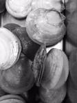 Deep Sea Scallops (Placopecten magellanicus)
